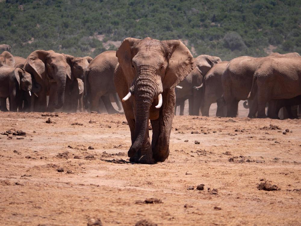 Elefantenbulle auf dem Weg zum Auto