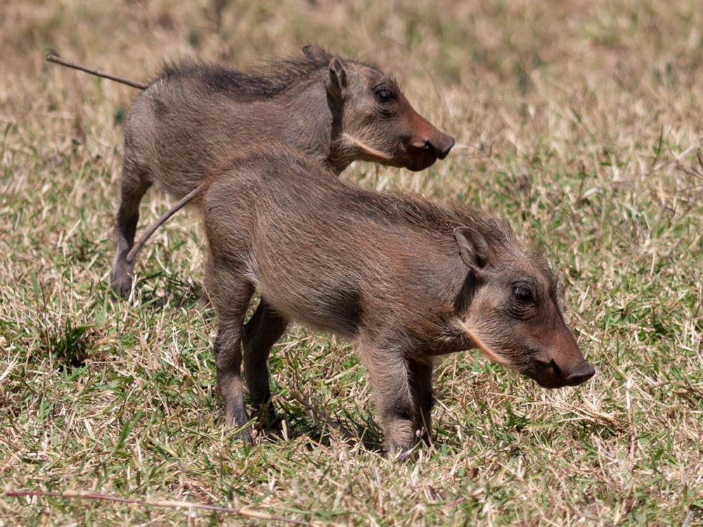 Warzenschweine im Addo Nationalpark