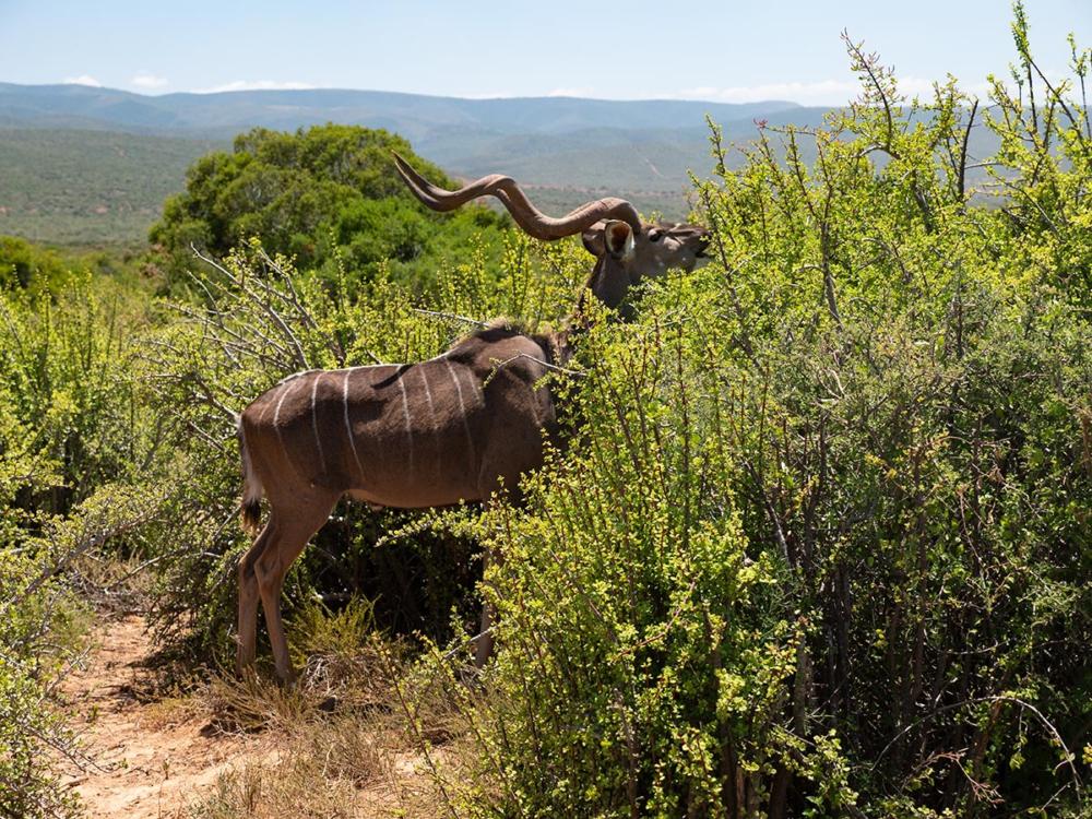 Kudu im Addo Elefantpark