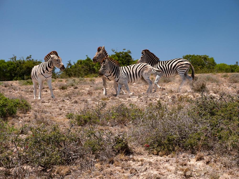 Zebras im Addo Elefant Park