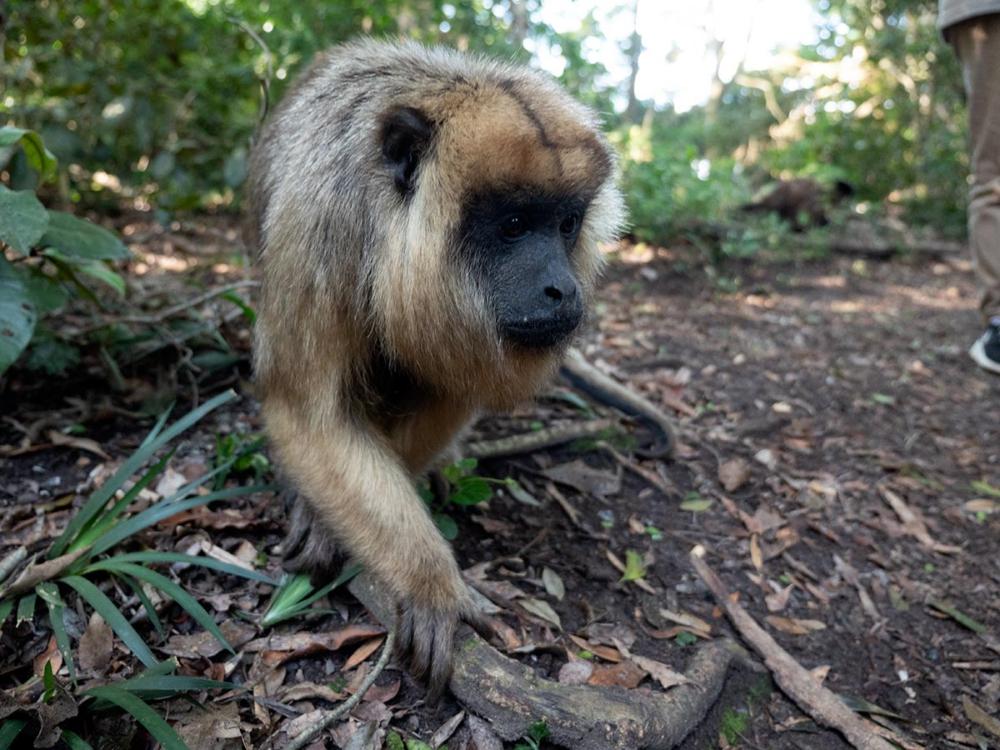 Weiblicher Brüllaffe im Monkeypark Südafrika