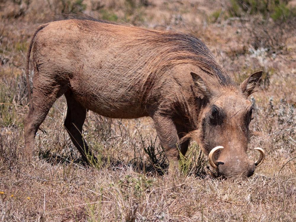Warzenschwein im Addo Elefant Nationalpark